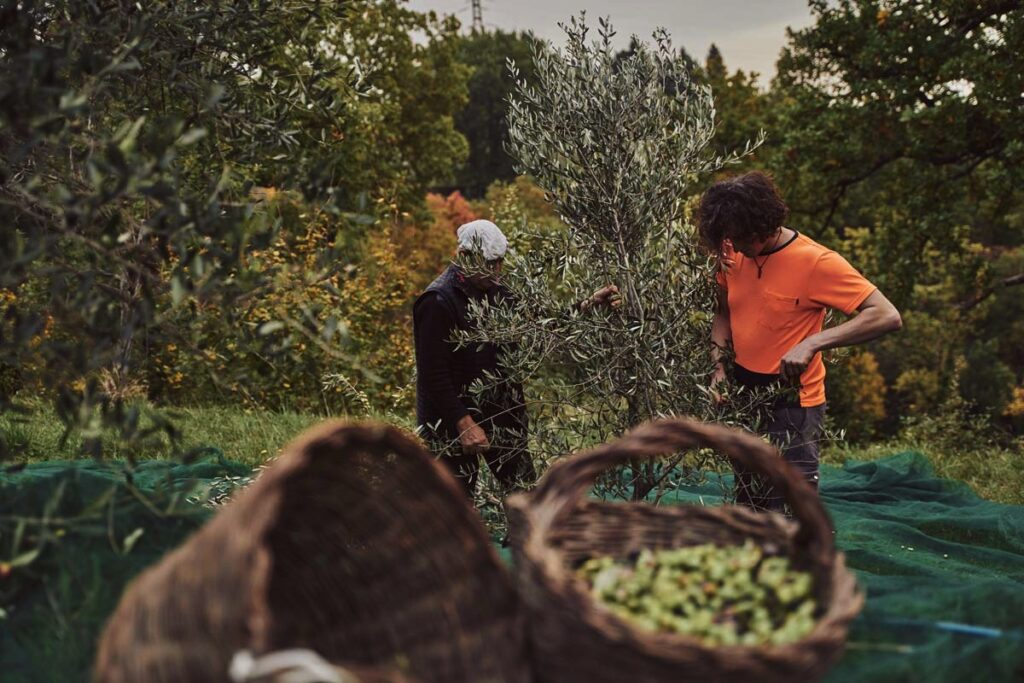 raccolta olive Nonno e Figlio